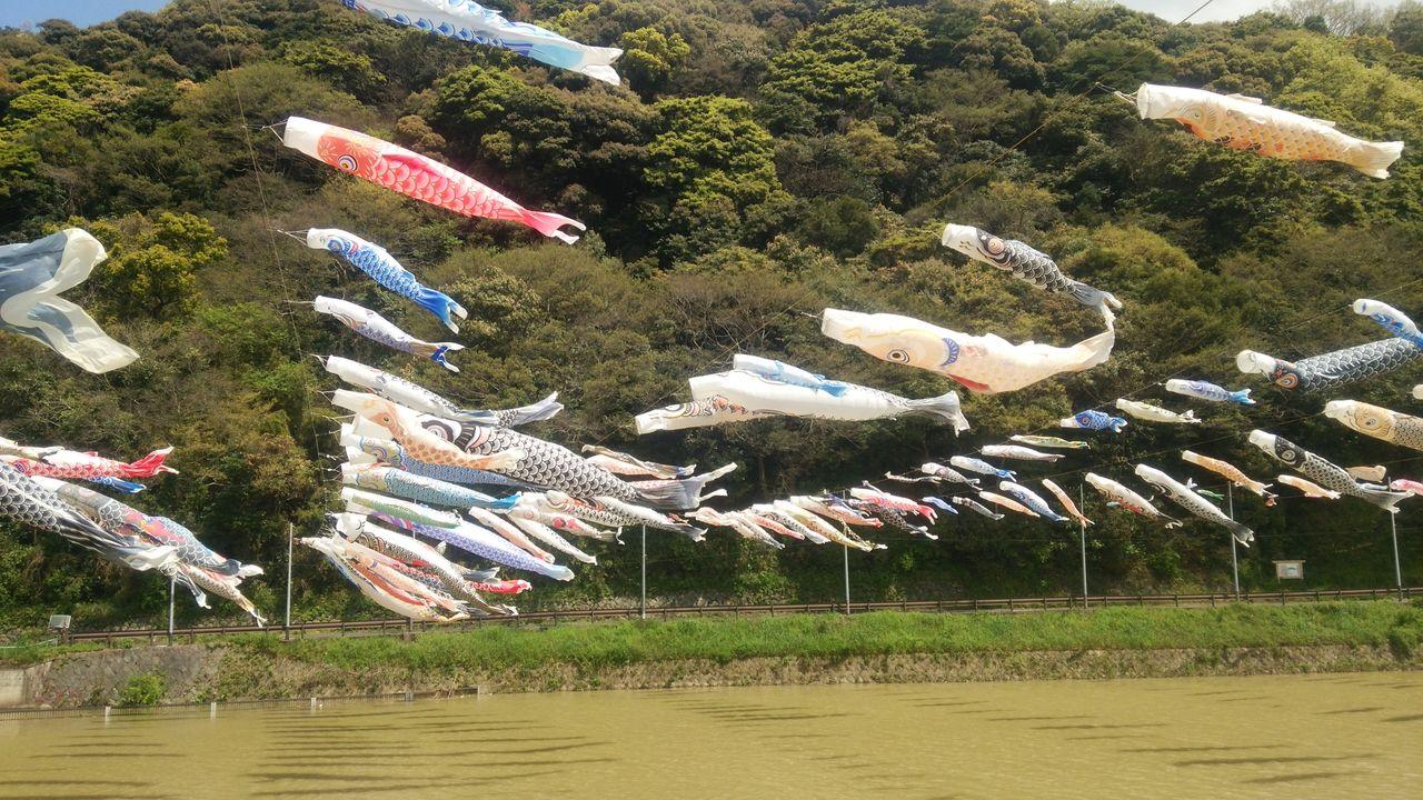 桜橋の鯉たち
