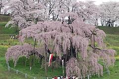 三春の滝桜 2008