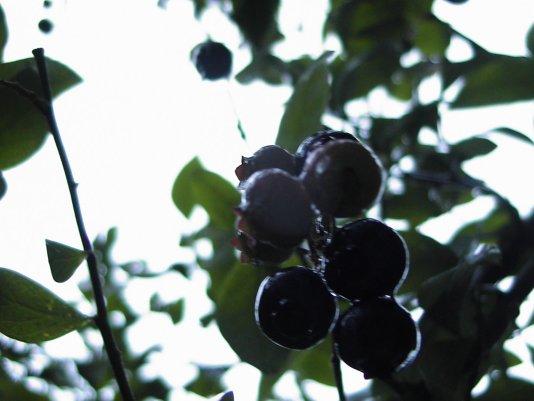 ブルーベリー畑4