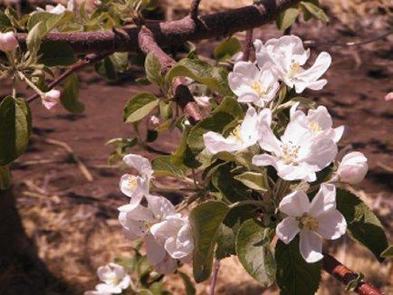 りんご花2