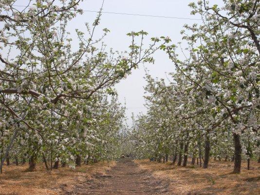 りんご畑1