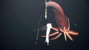 070228_squid_swim_02