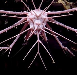 pink-porcupine-crab-2