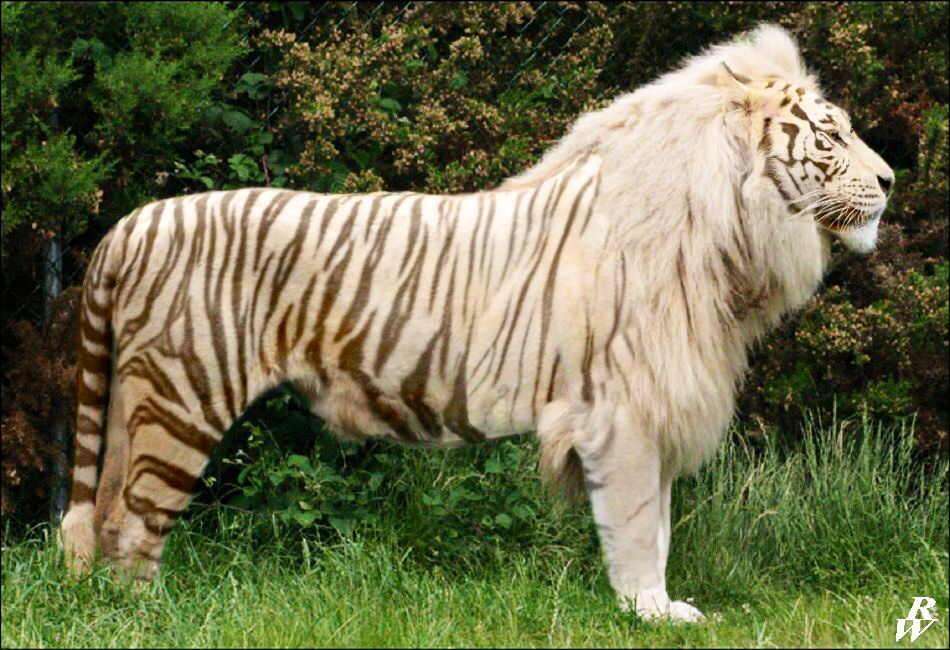 White liger by dwarf4r