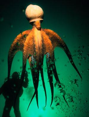 photo-Pieuvre-geante-du-Pacifique-5
