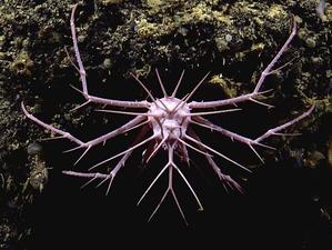 pink-porcupine-crab1