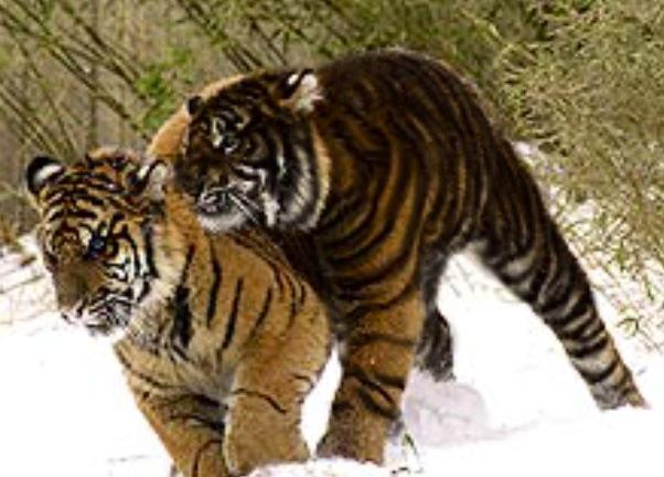 擬似メラニズム虎【Pseudo melanism Tiger】 : 13SHOE・高野十座のブログ