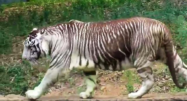 擬似メラニズム・ホワイトタイガー【Pseudo melanism White Tiger】 : 13SHOE・高野十 ...