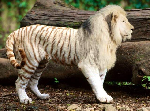 leon y tigre blanco - photo #33