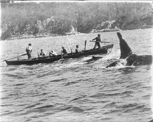 killer-whale-old-tom