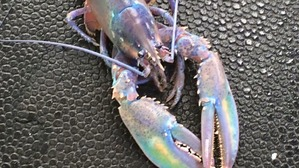 rainbow-lobster