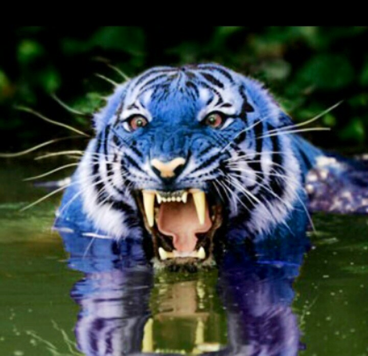 angry white tiger blue eyes - photo #24