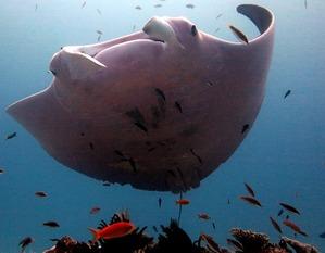 pink-manta-ray3