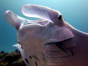 pink-manta-ray2