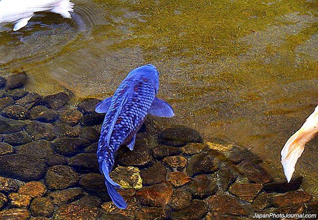 Bright blue carp 13shoe for Carpa koi butterfly