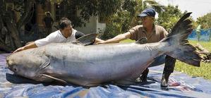 Conoce-los-10-peces-de-agua-dulce-mas-grandes-del-mundo