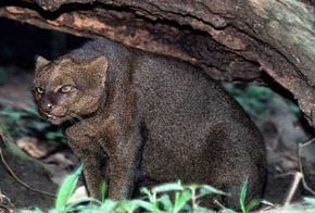 jaguarund
