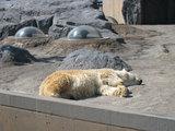 白熊(イン旭山動物園)
