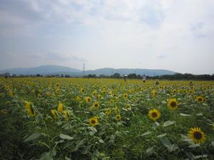 岐阜県大垣市青野町ひまわり畑1