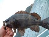 黒メバル釣り2