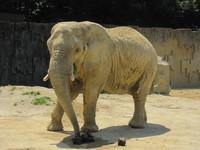 東山動物園のゾウ