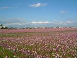 長島町のコスモス畑