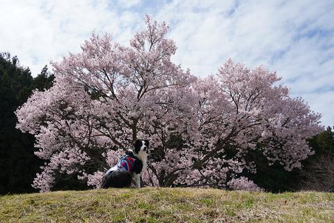 名倉桜並木の犬2