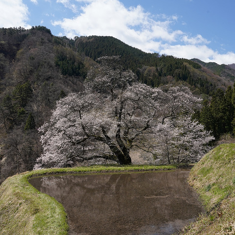 駒つなぎの桜 3