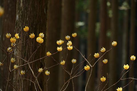 2ミツマタの花