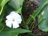 エンサイの花