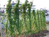 山芋の生長具合