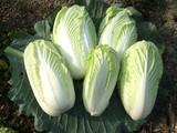 五頭白菜収穫2