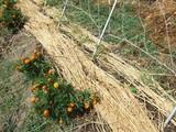 黒トマトの植え付け