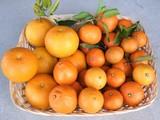 収穫した柑橘