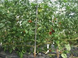 トマト斜め