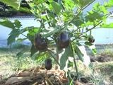 クロワシ米茄子の木
