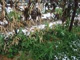 スナップエンドウの雪景色