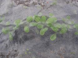 不織布の下のゴボウ発芽