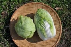 白菜レタス