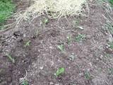 レタスの定植