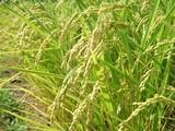 収穫まじかの米