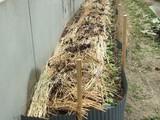 山芋の植え付け3