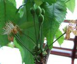 サクランボの幼果