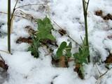 雪のエンドウ