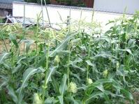 トウモロコシ畝