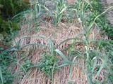 ニンニクの茎葉