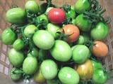最後の黒トマト