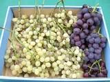 今年最後の葡萄収獲