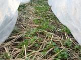 不織布の中のベンリ菜