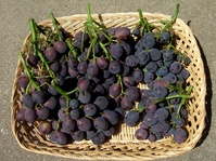 葡萄初収穫